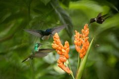 Three hummingbirds hovering next to orange flower,tropical forest, Ecuador, three birds sucking nectar. From blossom in garden,beautiful hummingbird with royalty free stock photos