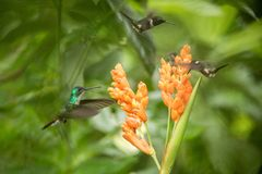 Three hummingbirds hovering next to orange flower,tropical forest, Ecuador, three birds sucking nectar. From blossom in garden,beautiful hummingbird with royalty free stock image