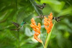 Three hummingbirds hovering next to orange flower,tropical forest, Ecuador, three birds sucking nectar. From blossom in garden,beautiful hummingbird with royalty free stock photography
