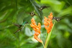 Three hummingbirds hovering next to orange flower,tropical forest, Ecuador, three birds sucking nectar. From blossom in garden,beautiful hummingbird with stock images