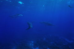 Three humpback whale underwater with a snorkeler. Three humpback whale, Megaptera novaeangliae, underwater in the Pacific ocean with a snorkeler watching, Rurutu Royalty Free Stock Images