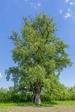 Three hundred years old large poplar Royalty Free Stock Image