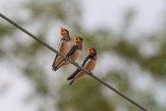 Three hungry birds. Call for their mother Stock Photo