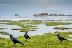 Three hungry crows on the corals. At Sri Lanka Stock Photo