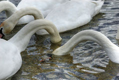 Three hungry swans royalty free stock photo