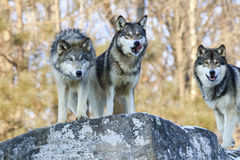Three hungry wolves looking for food. Three wolves hunting for prey stock image
