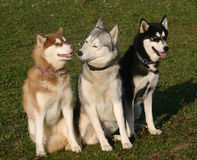 Three husky dogs. Family of purebred siberian husky: beautiful eskimo dogs Royalty Free Stock Image