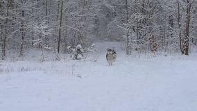 Three Husky dogs run and play in a beautiful snowy forest. Three Husky dogs run and play in a beautiful forest stock footage