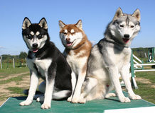 Three huskys. Family of purebred siberian husky: beautiful eskimo dogs Stock Images