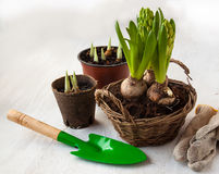 Three hyacinth in basket and garden tools Stock Photography
