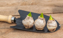 Three hyacinth bulbs in a garden shovel Stock Photography