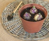 Sprouts hyacinths in a pot. Spring gardening Royalty Free Stock Image