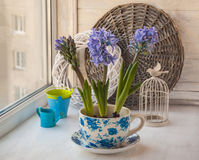 Three   hyacinth in a vintage pot Stock Photos