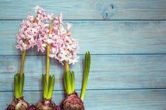 Three hyacinths Royalty Free Stock Photos