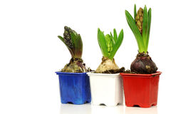 Three hyacinths in colorful pots Stock Photo