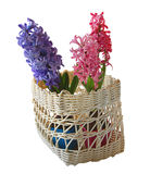 Three hyacinths isolated on white background Royalty Free Stock Images