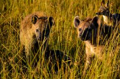 Three Hyena Animals On Grass Field Royalty Free Stock Images