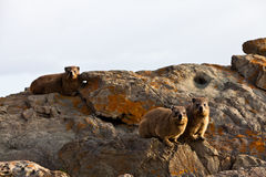 Three hyrax animals sitting on a rock Stock Images