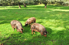Three Iberian pigs eating acorns in the forest of Jabugo, province of Huelva, Spain Royalty Free Stock Photos