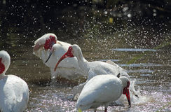 Three ibis bathing in a pool in Florida. Royalty Free Stock Photos