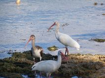 Three Ibis birds feed near the shore line. Three Ibis birds hunt for their breakfast along the shore line of Florida Bay in Key Largo stock image