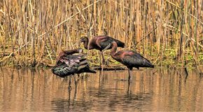 The Beauty of the Glossy Ibis royalty free stock photography