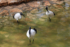 Three Ibises Royalty Free Stock Images