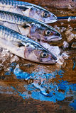 Three iced raw whole mackerel fish with copy space. Cropped top down view on three iced raw whole mackerel fish with copy space on wooden surface with blue dye Stock Photos