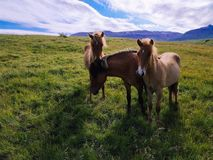 Three icelandic horses with green glass and mountain in background royalty free stock photography