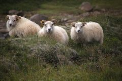 Three Icelandic sheep watching the road. Three Icelandic sheep were stainding beside the road watching the cars go by royalty free stock photography