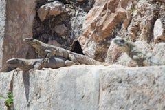 Three iguanas. Iguana lizards sitting on a rock on a sunny day Stock Image