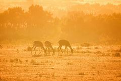 Three Impala Aepyceros melampus Stock Photography