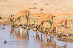 Three impalas drinking Royalty Free Stock Images