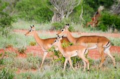 Three Impalas in the savanna Stock Photography