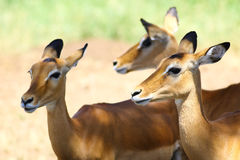 Three Impals antelope Royalty Free Stock Photos