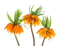 Three Imperial Crown (Fritillaria Imperialis) isolated on white background Stock Photos