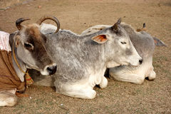 Three Indian Cows Rest in the Sun Stock Photo