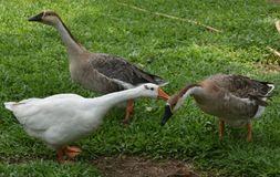 Three Indian ducks playing in green grass stock photography