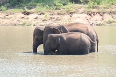 Three indian elephants(Elephas maximus indicus) Stock Photo