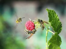 Three Insects Striped Dangerous Wasp Flew On Juicy Ripe Red Rasp Royalty Free Stock Images