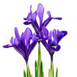 Three Iris flowers Royalty Free Stock Images