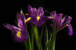 irises on a black background. Beautiful flowers royalty free stock photos