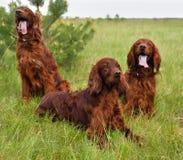 Three Irish setters Stock Photo