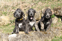 Three Irish Wolfhounds in the garden Stock Image