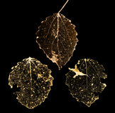 Three isolated on black dead leaves Royalty Free Stock Photo