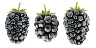 Three isolated blackberries Royalty Free Stock Photography