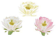 Three isolated cactus flowers Royalty Free Stock Photography