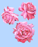 Three isolated images of roses flowers blossom Stock Image