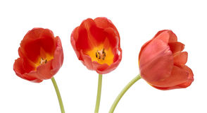 Three isolated red tulips Royalty Free Stock Photos