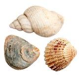 Three Isolated Seashells Stock Images